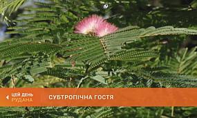 Субтропічна гостя: у ботанічному саду зацвіло шовкове дерево