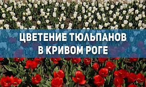 Общество Кривой Рог: цветение тюльпанов | 1kr.ua