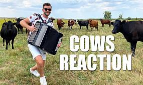 Концерт для корів на баяні