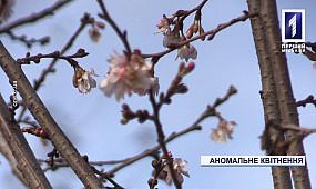Посреди зимы в Кривом Роге расцвела сакура