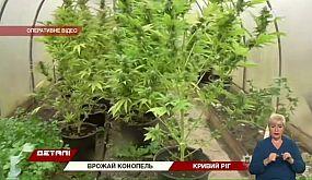 В Кривом Роге правоохранители обнаружили посев конопли на 100 тысяч гривен и оружие