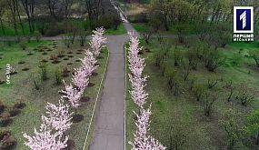 Без коментарів: у ботанічному саду Кривого Рогу квітнуть сакури