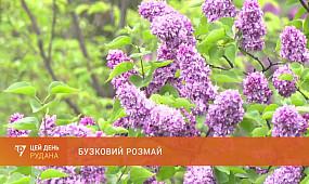 Бузковий розмай: у криворізькому ботанічному саду - пік цвітіння бузку